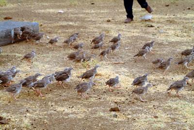 Keklikleri avc�lardan may�nl� arazide koruyorlar